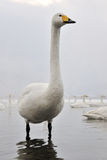 Whooper Swan Royalty Free Stock Photography