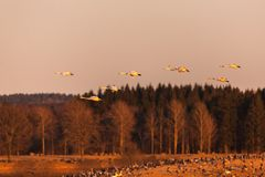 Whooper Swan  in sunset Royalty Free Stock Photography