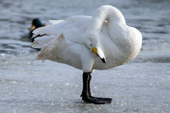 Whooper swan. Is the only swan on Iceland Stock Photos