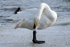 Whooper swan. Is the only swan on Iceland Stock Photography