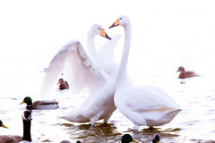 Whooper swan. Is the only swan on Iceland Royalty Free Stock Photography