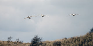 Whooper swan Royalty Free Stock Images