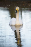 Whooper Swan. Swimming in lake with charming reflection Stock Photo