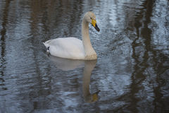 Whooper Swan. Swimming in lake with charming reflection Royalty Free Stock Photo