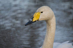 Whooper Swan. Swimming in lake in London UK Royalty Free Stock Image
