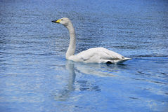 Whooper swan swimming Royalty Free Stock Images