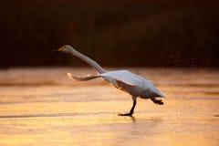 Whooper swan takeoff Stock Image