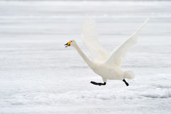 Whooper Swan Royalty Free Stock Photo