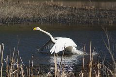 Whooper swan taking off Stock Photo