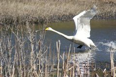 Whooper swan taking off Royalty Free Stock Photos