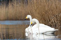 Whooper Swan. Two Whooper Swans swimming in water between reed Stock Image