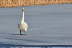 Whooper swan walking on ice Royalty Free Stock Photos