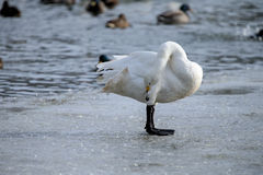 Whooper swan. Is the only swan on Iceland Royalty Free Stock Photo