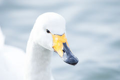 Whooper swan. Is the only swan on Iceland Stock Images