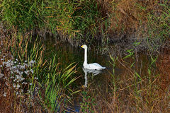 Whooper swan. Wild waterfowl bird on a lake Royalty Free Stock Photo
