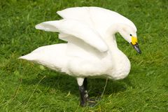 Whooper swan with yellow beak stretching wings Royalty Free Stock Photos