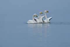 Whooper Swans Royalty Free Stock Image