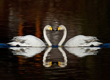 Whooper Swans. In love forming a heart shape Royalty Free Stock Image