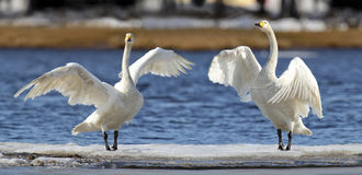 Whooper Swans. Drying their wings and preparing for flight Royalty Free Stock Images