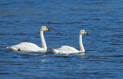 Whooper swans. Two whooper swans in blue water Stock Images