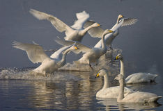 Whooper Swans arrive from Iceland Stock Image