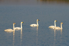 Whooper Swans (Cygnus cygnus) Royalty Free Stock Image