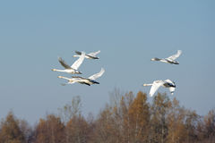 Whooper swans Stock Photography