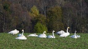 Whooper swans stock footage