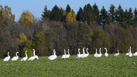 Whooper swans stock video