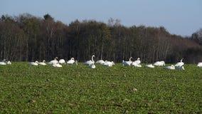 Whooper swans stock video footage