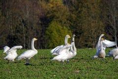 Whooper swans Stock Photos