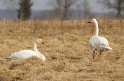 Whooper swans (Cygnus cygnus) Royalty Free Stock Images