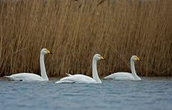 Whooper Swans, Cygnus sygnus Royalty Free Stock Image