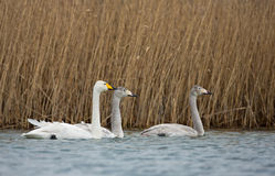 Whooper Swans, Cygnus sygnus Stock Photography