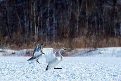 Whooper Swans Cygnus cygnus walking on snow near the Lake Kussharo. Unique natural beauty of Hokkaido, Japan,birding adventure. In Asia,beautiful elegant royal stock photo