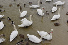 Whooper Swans Royalty Free Stock Photo