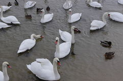 Whooper Swans Royalty Free Stock Images