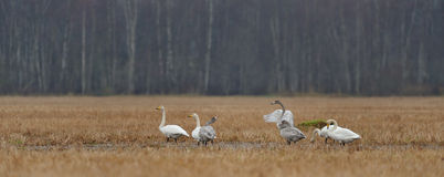 Whooper swans in the field Royalty Free Stock Image