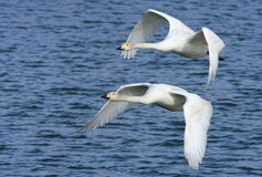 Whooper Swans in Flight. Two young whooper swans flying over water at the Wildfowl and Wetland Trust Reserve at Caerlaverock in South West Scotland, UK stock image