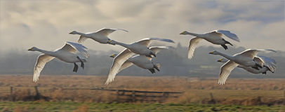 Whooper Swans Fly in Stock Photo