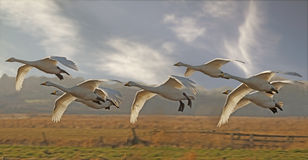 Whooper Swans Flying Stock Images