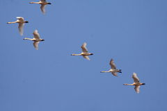 Whooper swans flying in the blue sky Royalty Free Stock Photos