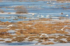 Whooper Swans flying Stock Photos