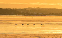 Whooper swans flying over ice covered ocean in warm light of the sunrise Stock Photos