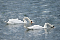Whooper swans on a Lake (No. 1) Royalty Free Stock Image