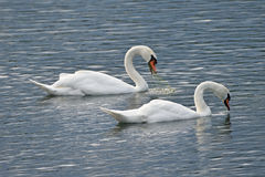 Whooper swans on a Lake (No. 2) Stock Photo
