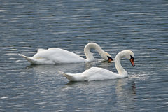 Whooper swans on a Lake (No. 3) Stock Photography