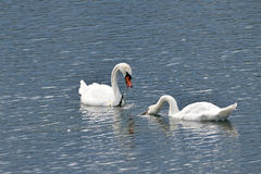 Whooper swans on a Lake (No. 4) Royalty Free Stock Photography