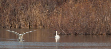 Whooper Swans meeting again. Stock Photo