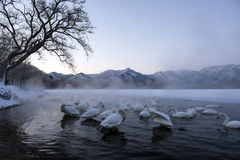 Whooper swans through mist, lake kussharoko japan Stock Photography